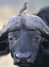 Buffalo and bird